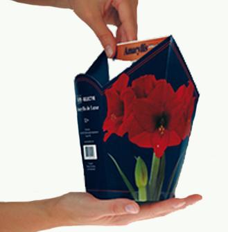 Rode Amaryllis in zeskantige doos